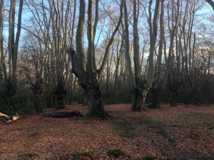 Beech Pollards Epping Forest